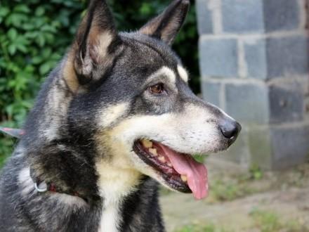 Beniamin-pies w typie rasy jamthund (szwedzki elkhund)!