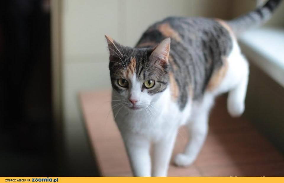 Mała - trikolorowa, łagodna koteczka szuka domu