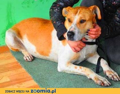 ROLEKS - łagodny psiak w typie amstaffa gaśnie w schronisku! ADOPTUJ,  wielkopolskie Poznań