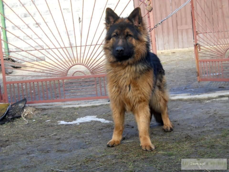 Owczarek Niemiecki Długowłosy Pies Rodowód Ango Owczarek