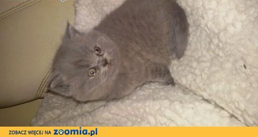 Brytyjczyki kotki ,  mazowieckie Warszawa