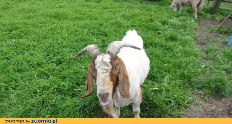 Koza Burska - Kozioł Burski