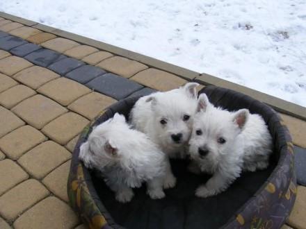 West Highland White Terrier szczeniaki z rodowodem