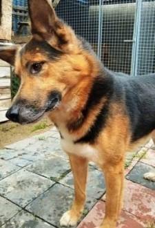 BRIX - piękny pies w typie wilczura pragnie zaufać człowiekowi