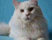 Kochany Pieszczoch! Biały Kocurek Maine Coon !              Rodowód