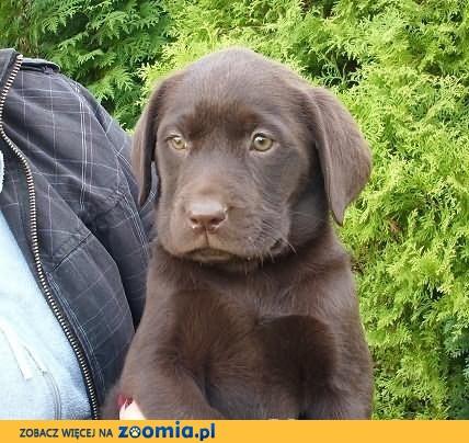 Labrador -czekolada              Rodowód