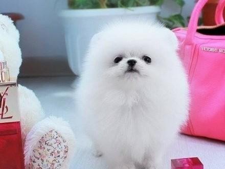 Spitz Miniaturowy Pomeranian