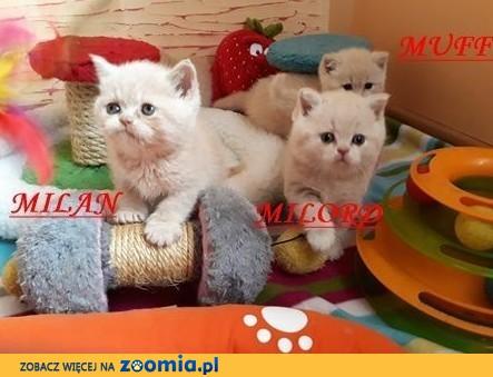 brytyjskie-kremowe kocięta-rodowód FPL-odbiór 23 lutego-zerknij