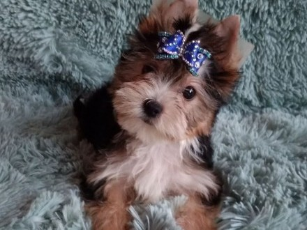 Yorkshire Terrier Biro  Choco  Golddust Carrier nie Biewer piesek