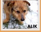 ALIK-mały terier mix,łagodny,tulaśny,wesoły piesek.ADOPCJA,  dolnośląskie Wrocław