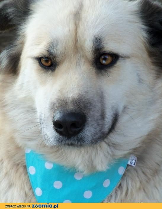 Greta psia piękność w kolorze bieli