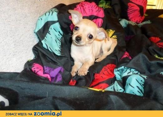 Chihuahua miniaturka , miniaturowa suczka i piesek , szczeniaczki malutkie słodziaki,  warmińsko-mazurskie Giżycko