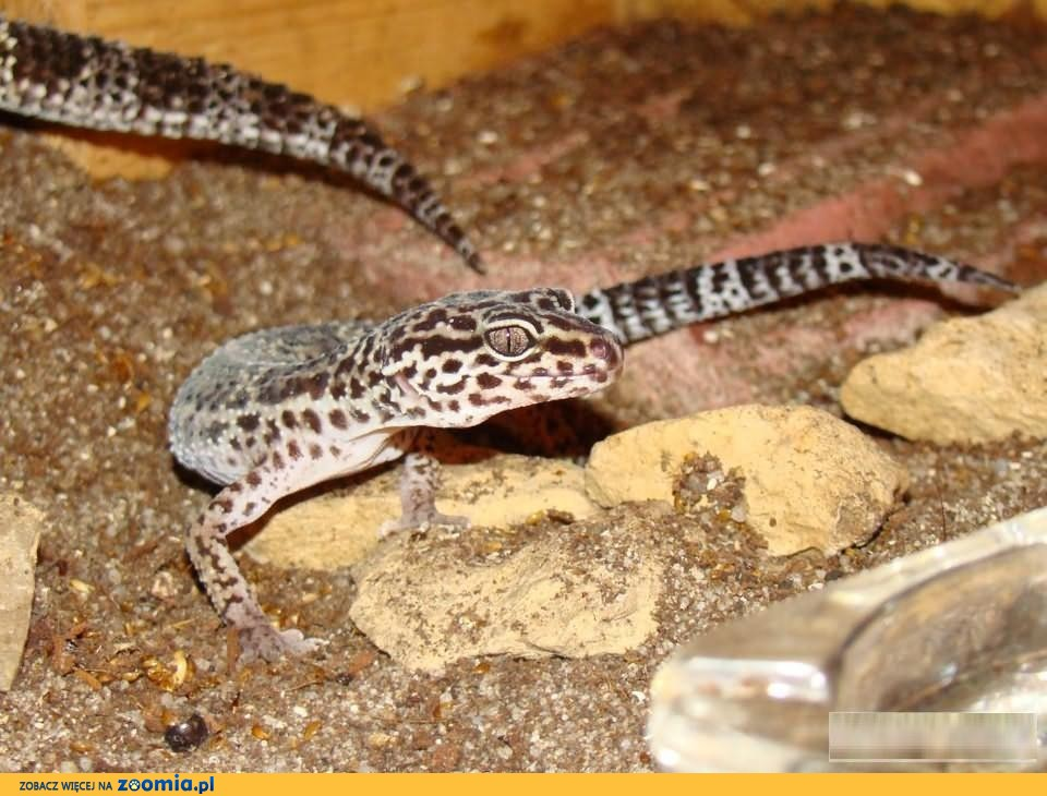 Cudowna GEKON LAMPARCI (Eublepharis macularius) - Sklep Zoologiczny UV53