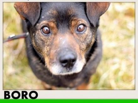 BORO 15kg łagodny wesoły towarzyski pies średniADOPCJA   pomorskie Gdańsk