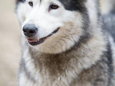 Kirima kochana  łagodna  bardzo przyjacielska suczka alaskan malamute   Kundelki cała Polska