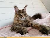 Wyjątkowa koteczka rasy Maine Coon w nowym typie