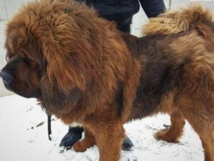Czerwone i Czarno -podpalane szczenięta Mastifa Tybetańskiego