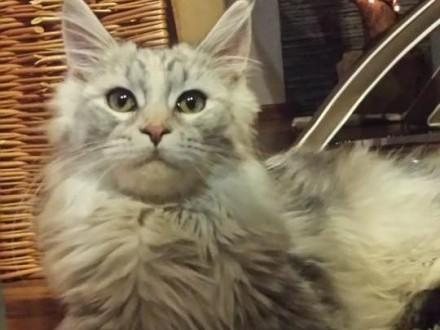 Kot Maine Coon Ogłoszenia Z Hodowli Koty Maine Coon Zoomiapl Pl 15