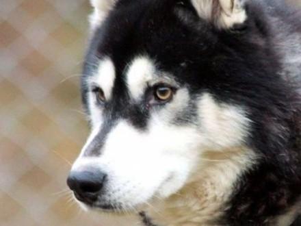 Malik - piękny pies w typie husky :)   warmińsko-mazurskie Olsztyn