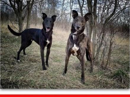 'Chart,duży,łagodny,spokojny,szczepiony pies HOL.ADOPCJA,  łódzkie Łódź