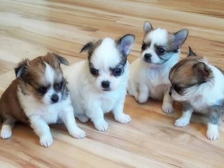 Chihuahua Piekny miniaturowe szczenieta Chihuahua