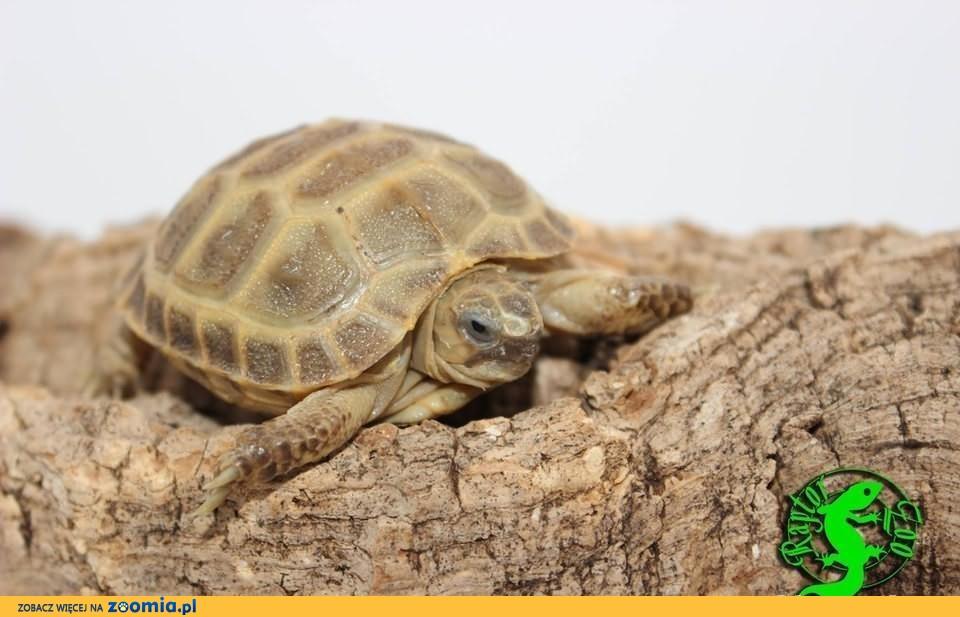 Żółw Stepowy (testudo horsfieldii), żółwie stepowe Warszawa