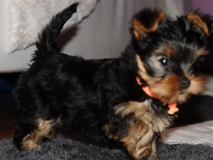 Yorkshire Terrier szczenieta z rodowodem FCI