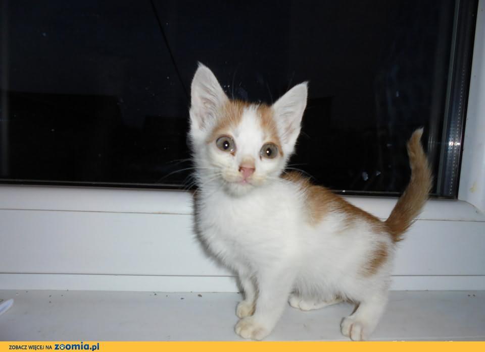do oddania rudo biały kotek