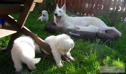 Biały owczarek szwajcarski- szczenięta z rodowodem FCI