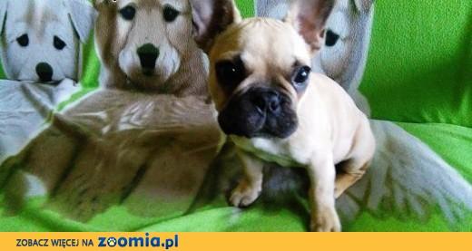 Buldog francuski - szczeniak,  podkarpackie Krosno