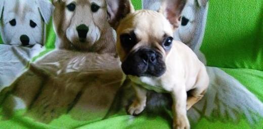 Buldog francuski - szczeniak   podkarpackie Krosno