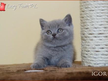 Niebieski kocurek brytyjski – kocięta brytyjskie – rodowód WCF