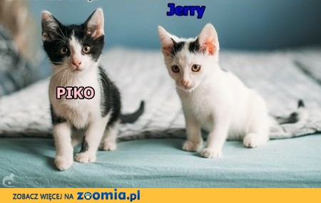 Kocia rodzinka szuka kochających domków na zawsze,  małopolskie Kraków