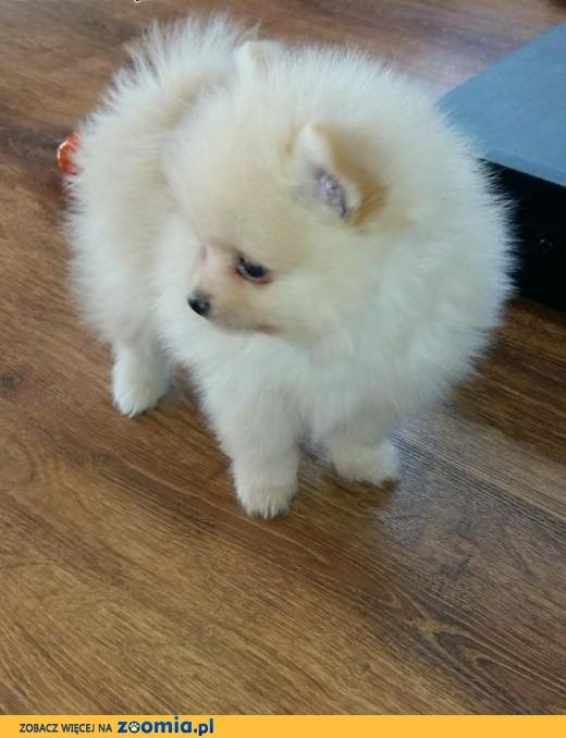 Szpic Miniaturowy Pomeranian Kremowy Piesek śląskie