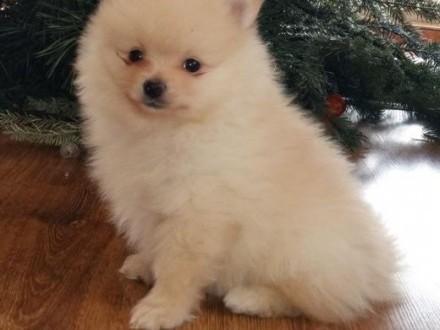 Szpic miniaturowy-Pomeranian kremowy piesek   śląskie Myszków