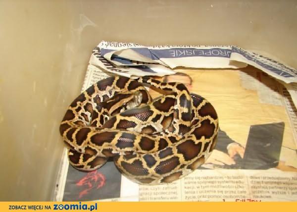 Python molurus bivitatus - Pyton tygrysi