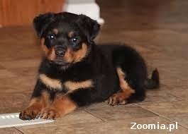 Rottweiler szczenięta domowe podniesiona do przyjęcia kontakt poprzez