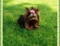 York,yorkshire terrier!KRYCIE- Elitarny REPRODUKTOR XXXS-1,20kg!,  małopolskie Kraków
