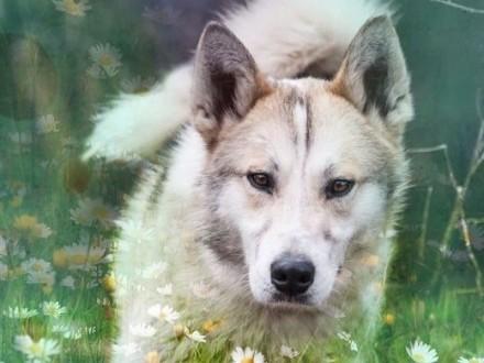 Freki - pełen energi młody psiak w typie husky czeka na dom   śląskie Jaworzno
