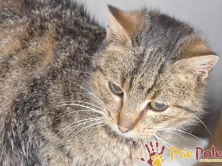 COCCOLINKA-Spokojniutka miła bura koteczka szuka kochającej rodziny  adopcja