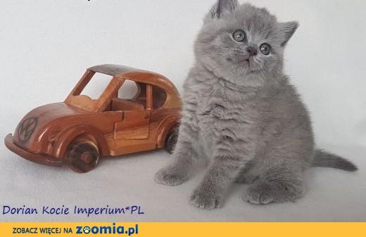 Wspaniałe Kocięta Brytyjskie z Rodowodem,  wielkopolskie Leszno