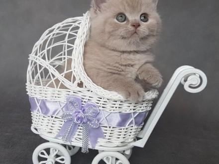 Wspaniałe Kocięta Brytyjskie z Rodowodem   wielkopolskie Leszno