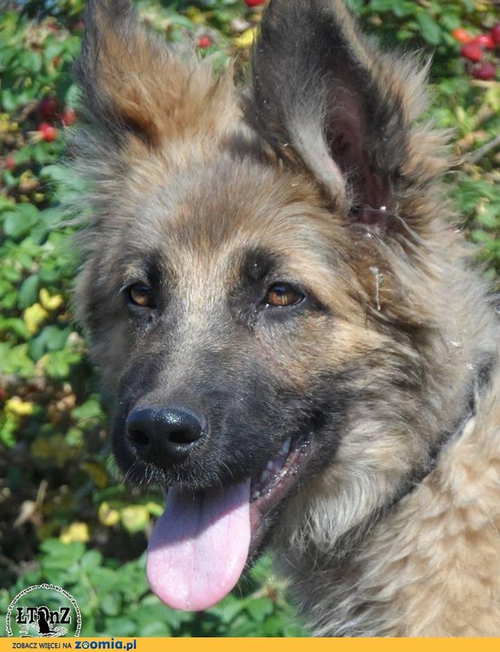 Zahir szczeniak mix owczarka niemieckiego Adopcja