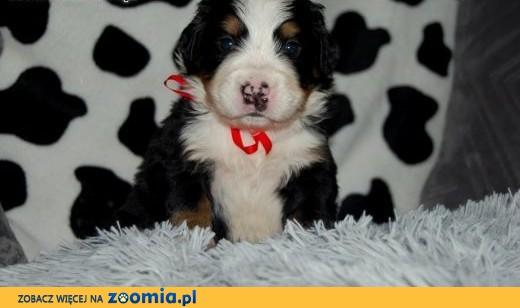 Berneński pies pasterski - Mamy szczeniaczki.!! :) ,  śląskie Częstochowa