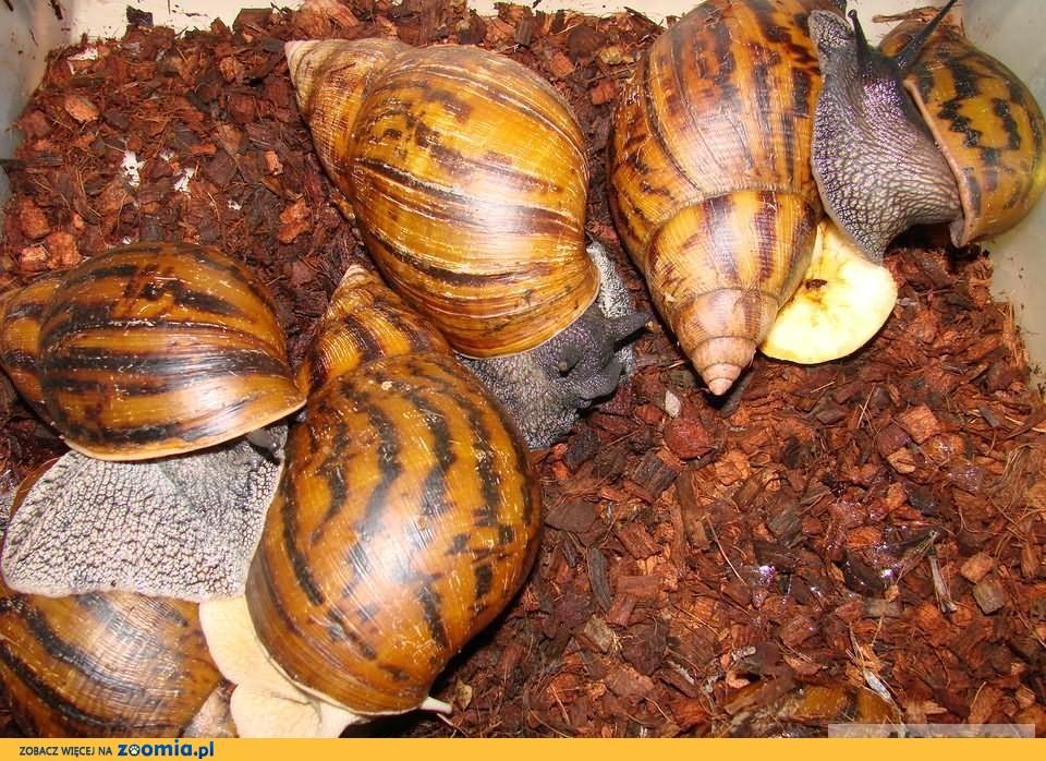 największy ślimak lądowy świata Achatina achatina