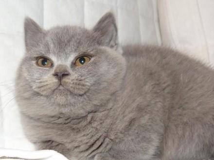 Kotka Brytyjska Fantasia Just Bluepl Fpl Pozostałe Rasy Koty