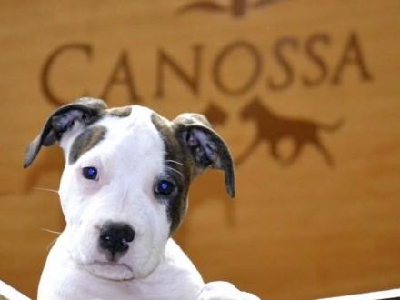 American Staffordshire Terrier śliczna suczka z Rodowodem ZKwP