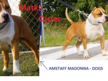 Szczenięta American Staffordshire Terrier