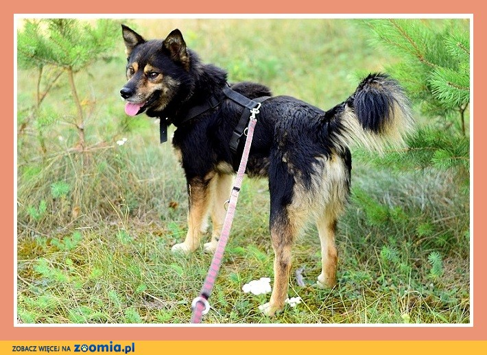 Średni 16 kg , kontaktowy, łagodny, towarzyski piesek FELIX_Adopcja_