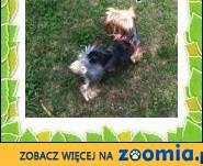 York,yorkshire terrier! Dorosły piesek!-małopolska,  małopolskie Kraków